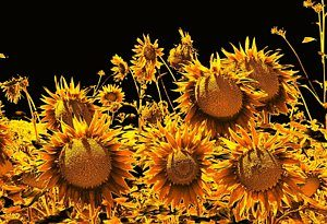 Sunflowers by Dorothy Berry-Lound